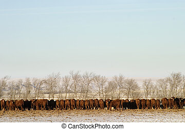 Cattle Row - A long row of cattle eating at a feedlot.