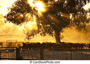 cattle sunrise - sun rays coming through the trees over a...