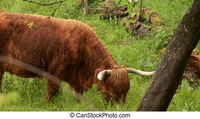 Cattle - video footage of cattles