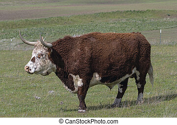 Cattle with Horns Full Body Portrait