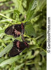 cattleheart, sommerfugl, parre