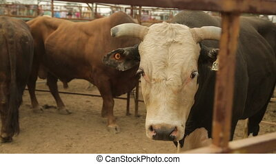 Cattles in the ranch - A hand held wide shot of three big,...
