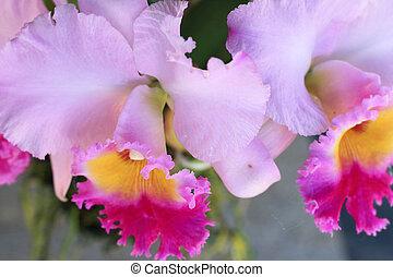 cattleya orchid, bloemen