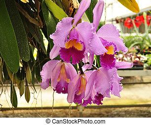 cattleya tropical flowers