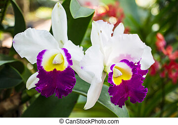 cattleya white purple orchid flower in bloom in spring