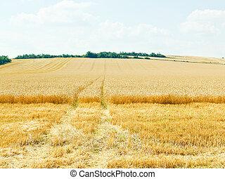 caucase, champ, région, blé, mûre