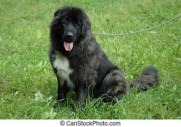 Caucasian sheep-dog