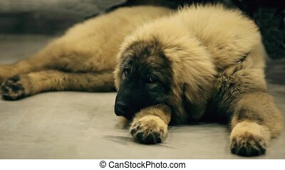 Caucasian shepherd dog lying down - Huge Wolfhound with a...