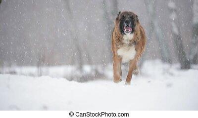 caucasien, slo-mo, extérieur, hiver, champ, neigeux, courant, day., berger, mouvement, lent, chien