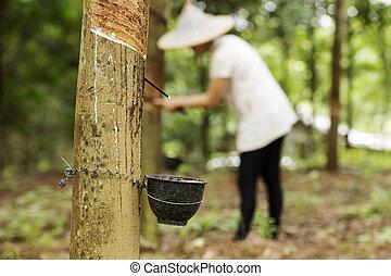 caucho, látex, el golpear ligeramente, árbol