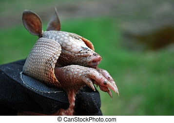 Caught Baby Armadillo