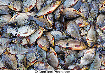 Caught crucians and pikes. Successful fishing. Fresh fish carps and pikes