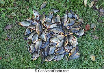 Caught crucians on green grass. Successful fishing. Fresh fish carp.