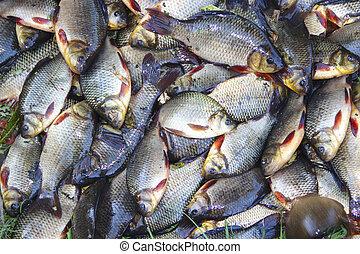 Caught crucians. Successful fishing. Fresh fish carp