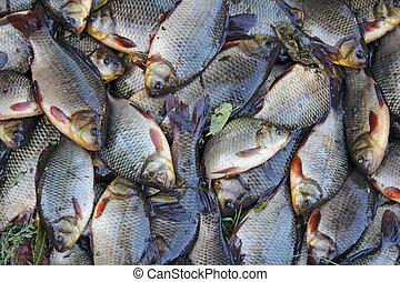 Caught crucians. Successful fishing. Fresh fish carp.