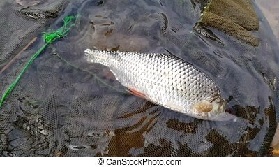 caught fish in a cage - caught live river fish in the cage,...