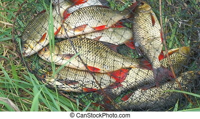 Caught Fish on the shore in a fishing cage on green grass.