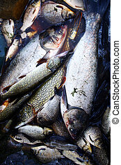 Caught some figh - Close up shot of some fish in a...