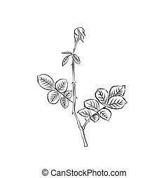 caule, e, folhas, de, withering, rose.