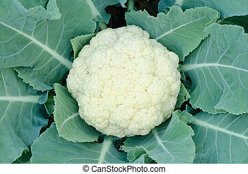 Cauliflower in a vegetable garden