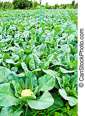 cauliflower plant, cabbage in vegetable garden, ingredient...