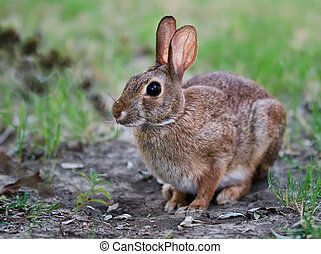 Cautious cottontail bunny rabbit - Cautious looking ...
