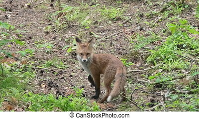 Tracking shot of wary fox cub looking around while walking on forest ground