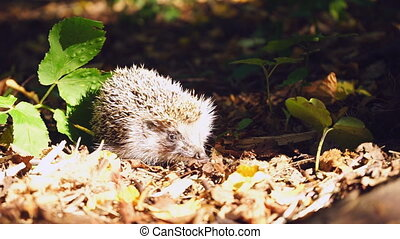 Cautious hedgehog in woods - Cautious hedgehog in the woods...