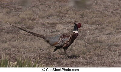 Cautious Rooster Pheasant - a colorful rooster pheasant in a...