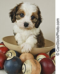 Cavachon Puppy - Brown and white Cavachon puppy with pool...