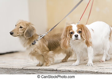 Cavalier and Miniature dachshund