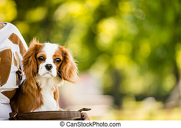 Cavalier dog - Portrait of cavalier dog in nature with copy...