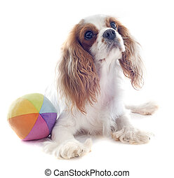 cavalier king charles and ball - young blenheim cavalier...
