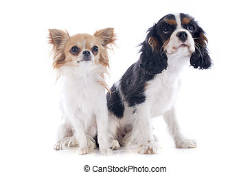 cavalier king charles and chihuahua - young cavalier king...