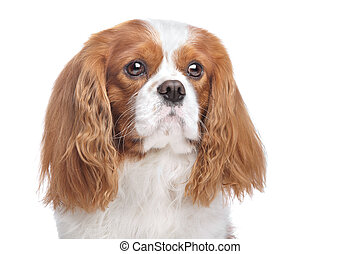 Cavalier King Charles Spaniel Blenheim in front of white