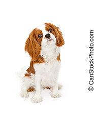 Cavalier King Charles Spaniel Dog - Cavalier King Charles...