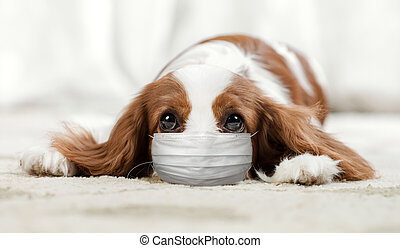dog in medical mask lie in home. Concept covid-19 coronavirus pandemic