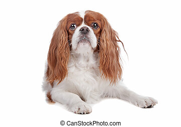 Cavalier King Charles Spaniel dog lying on front, isolated...