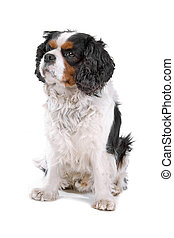 Cavalier King Charles spaniel dog sitting, isolated on a ...