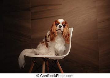 cavalier king charles spaniel dog sitting on a chair indoors