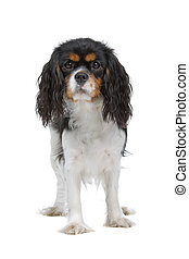 cavalier king charles spaniel dog standing still and looking...