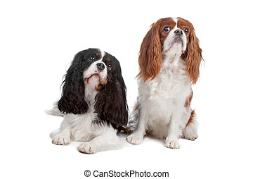Cavalier King Charles Spaniel dog - Two Cavalier King...