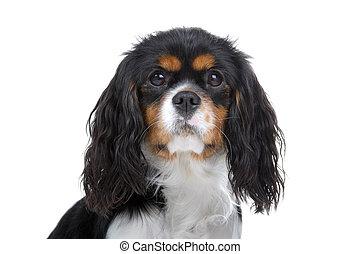 cavalier king charles spaniel dog - head of a cavalier king...