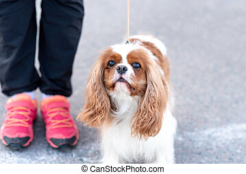 Cavalier King Charles Spaniel, on a leash, next to the owner