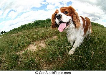 cavalier king charles spaniel walking on the field