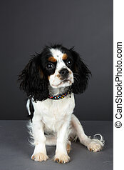 Cavalier King Charles Spaniel - Young Tri colored Cavalier...
