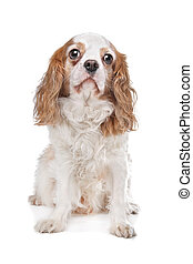 Cavalier King Charles Spaniel in front of a white background
