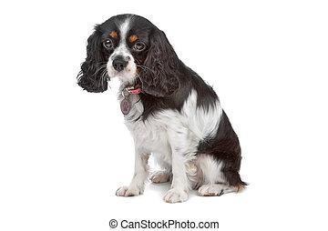 cavalier king charles spaniel - dog isolated on white