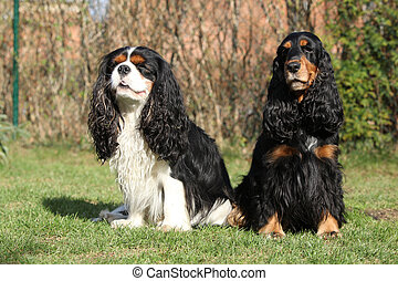 Cavalier King Charles Spaniel with English Cocker Spaniel...