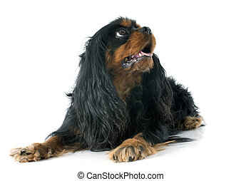 cavalier king charles in front of white background